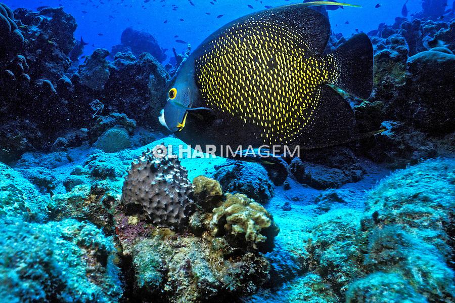 Peixe Frade (Pomacanthus paru) em Bonaire, Caribe. Foto de Maristela Colucci.