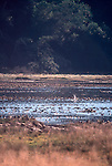 Ducks, Willapa Bay, Bone River, Washington State, Pacific Northwest, USA, Pacific flyway, The Nature Conservancy,
