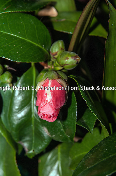 Camelia Japonica bud starting to open, vertical