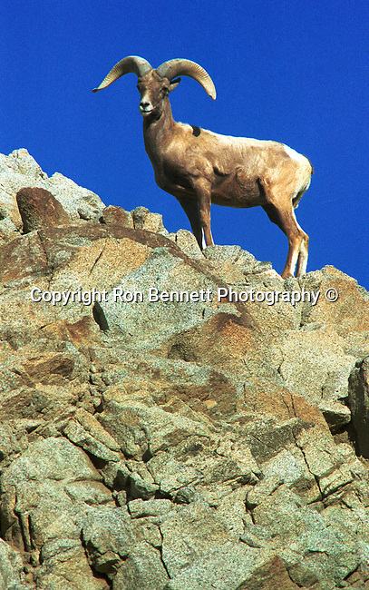 Bighorn sheep stands on cliff San Bernardino National Forest California, ovis canadensis, sheep, Bering land bridge, Native Americans, Dall Sheep, Animal, Bennett, Sierra Nevada Bighorn sheep, Peninsular Bighorn Sheep, desert, Animal, wild animals, Fine Art Photography by Ron Bennett, Fine Art, Fine Art photography, Art Photography, Copyright RonBennettPhotography.com © Fine Art Photography by Ron Bennett, Fine Art, Fine Art photography, Art Photography, Copyright RonBennettPhotography.com ©