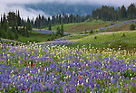Mount Rainier Natl Park,  WA  <br /> Rolling meadows of alpine wildflowers with scattered pine and fir trees on Mazama ridge