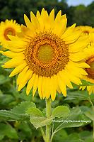 63801-11219 Sunflower in field Jasper Co.  IL