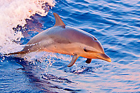 pantropical spotted dolphin, Stenella attenuata, baby, jumping out of boat wake at senset, Kona, Big Island, Hawaii, USA, Pacific Ocean