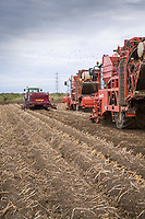 Windrowing and harvesting Maris Piper potatoes - Lincolnshire, October