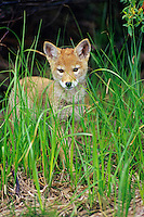 Wild Coyote (Canis latrans) pup.  Western U.S., June.