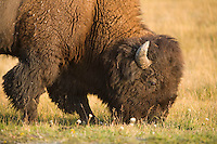 Bison grazing just before sunset in Yellowstone National Park