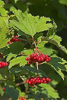 Gewöhnlicher Schneeball, Früchte, Viburnum opulus, European Cranberrybush, Guelder Rose, Viorne obier