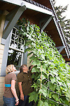 """Andrew and Patricia Nimelman cosult with Donna Smith (otherwise known as """"Your Backyard Farmer) at their home in NE Portland, OR where they discuss the beans and saving the large ones as seed for the following season."""