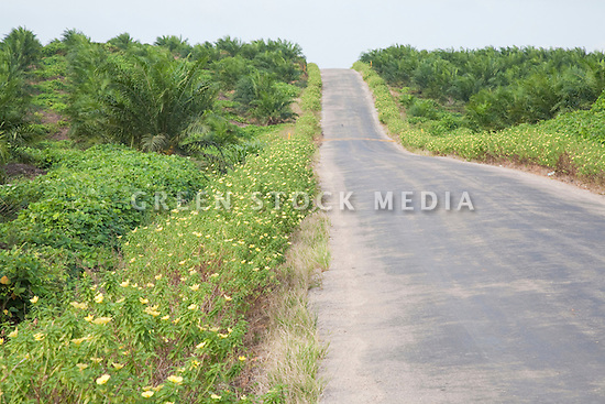 A road at the Sindora Palm Oil Plantation, owned by Kulim. The plantation is green certified by the Roundtable on Sustainable Palm Oil (RSPO) for its environmental, economic, and socially sustainable practices. Johor Bahru, Malaysia
