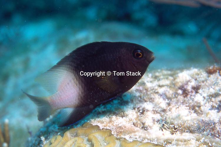 Damsel Fish on partially dead Brain Color