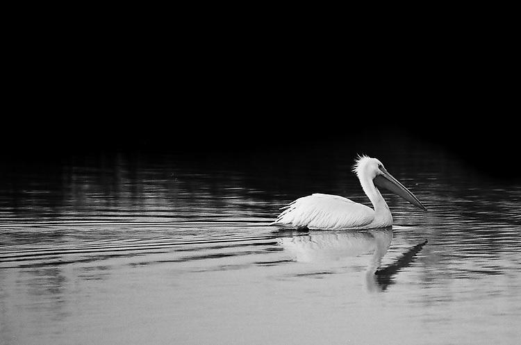 White Pelican, Ilford Delta Film