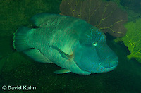 0514-1002  Humphead Wrasse (Giant Wrasse or Napoleon wrasse), Cheilinus undulatus  © David Kuhn/Dwight Kuhn Photography