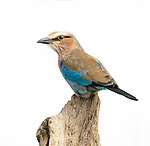 Birds* - Lilac Breasted Roller, Kingfisher and Bee Eater