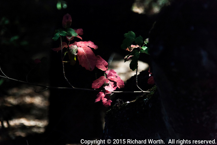 Autumn's first bright red on a trail in Cull Canyon Regional Recreation Area.