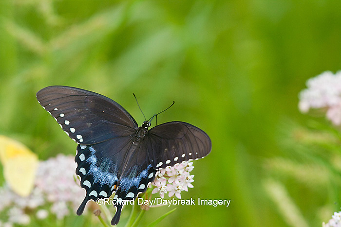 03029-01404 Spicebush Swallowtail butterfly (Papilio troilus) on Swamp Milkweed (Asclepias incarnata) Marion Co., IL