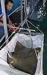 Foto: vidiPhoto<br /> <br /> ARNHEM - Met een spectaculaire vangactie en niet zonder levensgevaar voor de dierverzorgers, zijn woensdag in de Ocean van Burgers' Zoo in Arnhem Zeven adelaarsroggen gevangen, gemeten en gewogen. Het zwaarste dier woog 84 kilo en had een spanwijdte van bijna 2 meter. Adelaarsroggen hebben bovendien een meters lange staart, voorzien van enkele gifstekels. De duikers en helpers aan de kant van het bassin moesten dan ook uiterst voorzichtig te werk gaan. Een steek met een staat veroorzaakt verlammingsverschijnselen en kan bij het raken van de hartstreek dodelijk zijn. Tijdens het wegen werden de gifstekels met doeken afgedekt. De roggen zijn gevangen om te zien of ze goed groeien. Burgers' is namelijk Europees Stamboekhouder van deze kraakbeenvissen en bovendien 's werelds grootste kweker. De Arnhemse dierentuin heeft als eerste ter wereld bewezen dat adelaarsroggen zich ongeslachtelijk kunnen voortplanten.