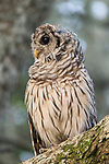 Brazoria County, Damon, Texas; a Barred Owl owlet  perched on a branch of a live oak tree in early morning light