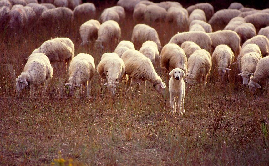 Sheep dog herding the flock, Italy<br />