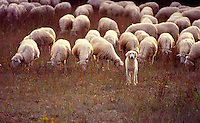 Sheep dog herding the flock, Italy<br />