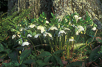 White hybrid hellebores, showing large clump of plant in bloom at base of tree trunk in shade