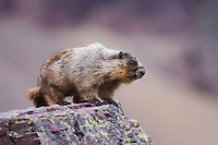 Hoary Marmot,Marmota caligata, adult on rock ledge, Logan Pass,Glacier National Park, Montana, USA, July 2007