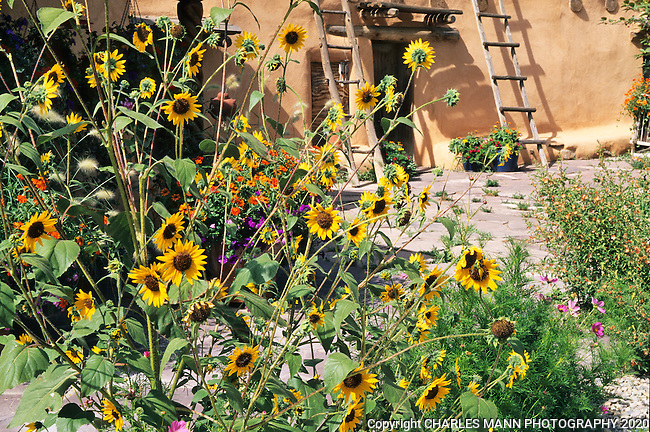 Susan Blevins of Taos, New Mexico, created an elaborate home garden featuring containers, perennial beds, a Japanese themed path and a regional style that reflectes the Spanish and pueblo architecture of the area. Late summer annual sunflowers make an exuberent contrast to the pueblo style walls of Susan Blevins' front patio garden.