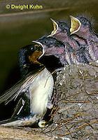 BA08-003z  Barn Swallow - parent feeding young - Hirundo rustica
