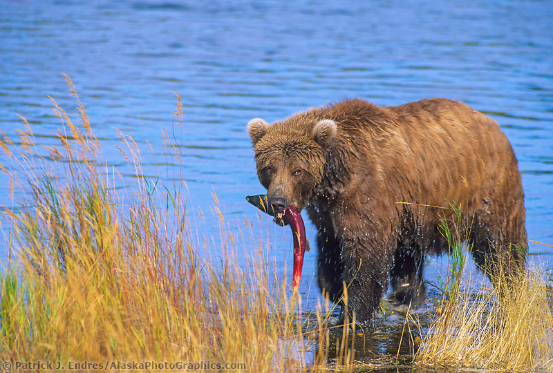 Coastal brown bear catches a red salmon in the Brooks River, Katmai National Park, southwest, Alaska.
