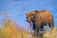Coastal brown bear catches a red salmon in the Brooks River, Katmai National Park, southwest, Alaska.