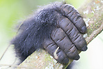 Hand Of Mountain Gorilla