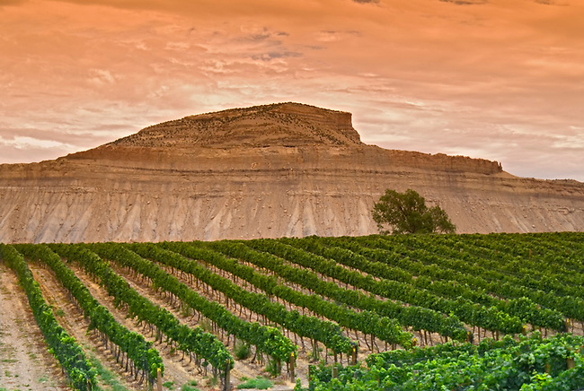 Mount Lincoln forms backdrop for vineyards near Grand Junction, colorado