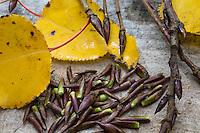 Balsam-Pappel, Balsampappel, harzige Knospen, Winterknospen, Pappelknospe, Pappelknospen, ätherische Öle, Räuchern, Räuchergut. Populus spec., balsam poplar, bud, buds