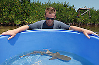 qa70855-D. marine biologist Tristan Guttridge (model released) from Bimini Biological Field Station at work in the mangroves, with young Lemon Shark (Negaprion brevirostris) collected for tagging. Bahamas, Atlantic Ocean..Photo Copyright © Brandon Cole. All rights reserved worldwide.  www.brandoncole.com..This photo is NOT free. It is NOT in the public domain. This photo is a Copyrighted Work, registered with the US Copyright Office. .Rights to reproduction of photograph granted only upon payment in full of agreed upon licensing fee. Any use of this photo prior to such payment is an infringement of copyright and punishable by fines up to  $150,000 USD...Brandon Cole.MARINE PHOTOGRAPHY.http://www.brandoncole.com.email: brandoncole@msn.com.4917 N. Boeing Rd..Spokane Valley, WA  99206  USA.tel: 509-535-3489