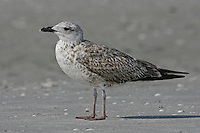 Lesser Black-backed Gull - Larus fuscus - 1st winter