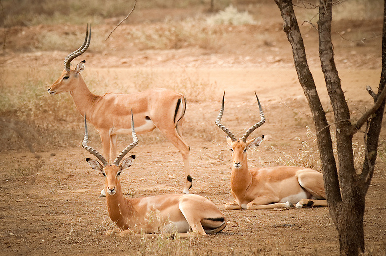 The male impala tries to mate with females in estrus and defends his territory from challenging males. Bachelor males are allowed to remain in male territories if they ignore the females.The females form herds of 10 to 50 or more and wander in and out of male territories. If they start to leave the territory, the male tries to herd them back to the center, or he feigns danger just beyond his boundary by taking a stance normally used as a warning sign.