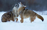 Coyote (Canis latrans) - Minnesota pair playing in snow, fighting, .USA....