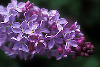 Syringa vulgaris bloom closeup Common lilac bush, fragrant garden plant