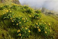 Arrowleaf Balsom, Rowena Plateau, Oregon