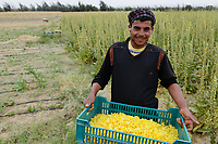 EGYPT, Bahariyya Oasis, Sekem organic farm, Project greening the desert ,  harvest of flowers of Evening primrose, drip irrigation / AEGYPTEN, Oase Bahariya, Sekem Biofarm, Landwirtschaft in der Wueste, Ernte von Nachtkerzen Blueten, Troepfchenbewaesserung