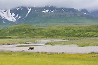 Coastal brown bear walks along the shore of river in Katmai National Park, Alaska Peninsula, southwest Alaska.