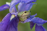 Grey Treefrog on iris