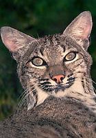 611009017 portrait of a wildlife rescue bobcat felis rufus at a wildlife rescue facility