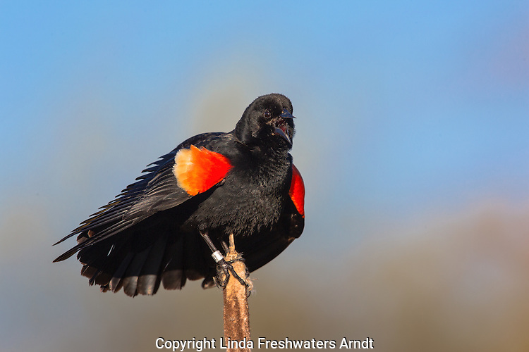 Red-winged blackbird - male