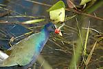 Purple Gallinule , bird, water fowl