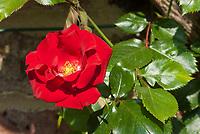 Rosa 'Parkdirektor Riggers' red rose