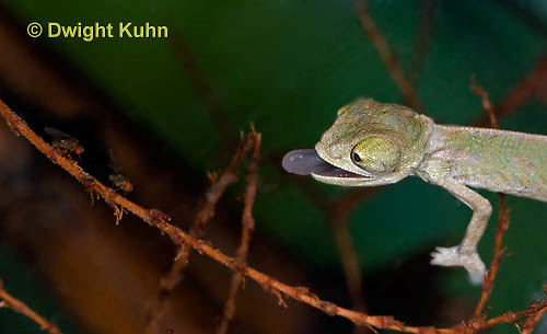 CH47-660z  Veiled Chameleon several week old young tongue flicking to catch prey, Chamaeleo calyptratus