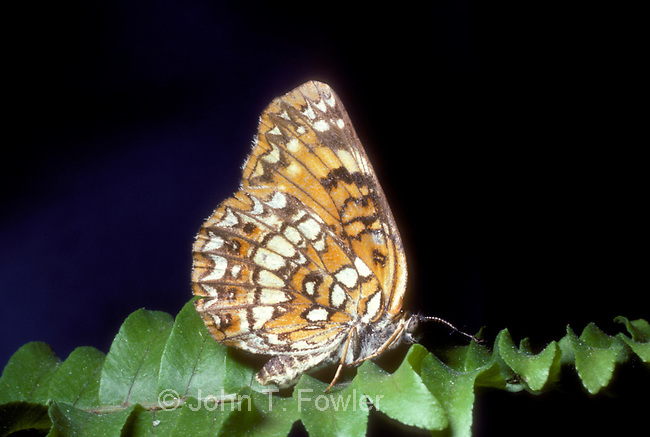Harris's Checkerspot Butterfly, Chlosyne harrisii