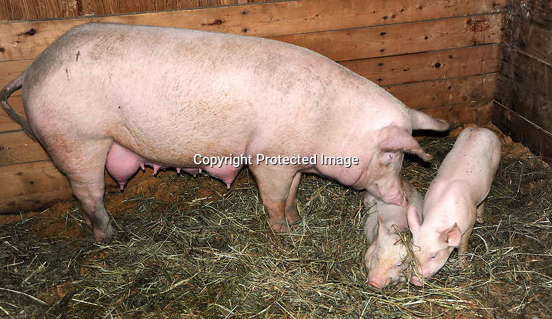 Mama pig with her piglets at Cheshire Fair in Swanzey, New Hampshire USA