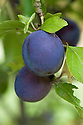 Plum 'Late Muscatelle', mid August. A mid-19th-century French dessert plum.