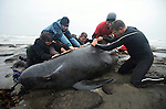 "Sea Shepherd crew assist Tasmania Parks & Wildlife staff in caring for a beached pilot whale at Naracoopa Beach, King Island on Tuesday, Mar. 3, 2009 after an unexplained stranding of over 200 whales and dolphins.  Sea Shepherd's anti-whaling campaign is the spearhead of its greater agenda to protect all marine environments. ""If we can't save whales?some of the most graceful, intelligent beings on the planet, then what else can we save?"" asks founder Captain Paul Watson."